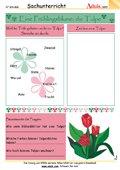Eine Frühlingsblume: die Tulpe