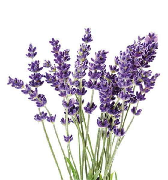 Kaarsen geurolie - 10 ml, lavendel