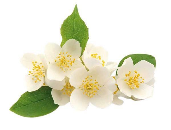 Huile parfumée pour savon - 10 ml, jasmin