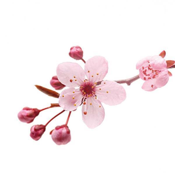 Huile parfumée pour savon - 10 ml, fleurs de ceris